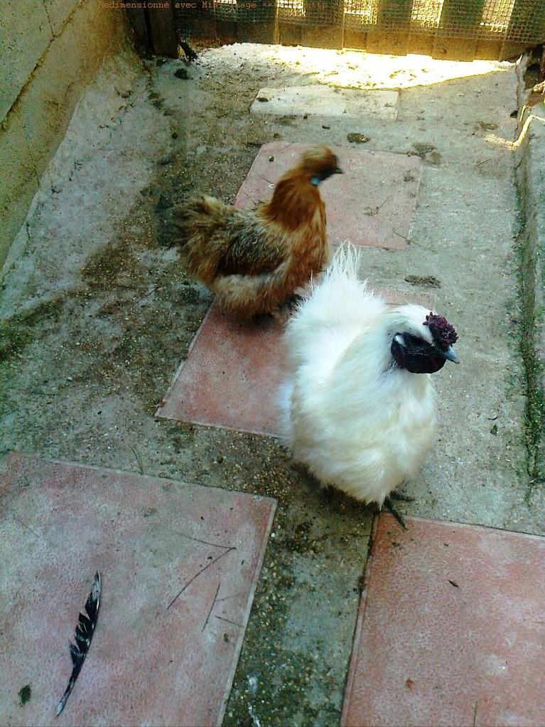 Gallo enano y una gallina Sedosa del japon