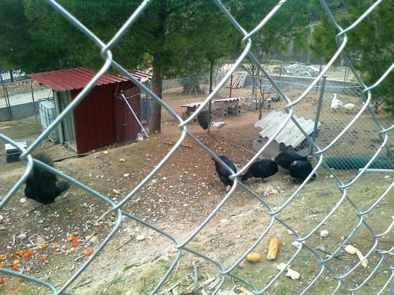 Corral Pavos negros - Parc des dindons noirs