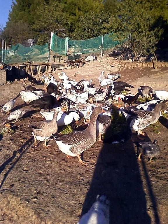 Ocas y patos - Oies et canards