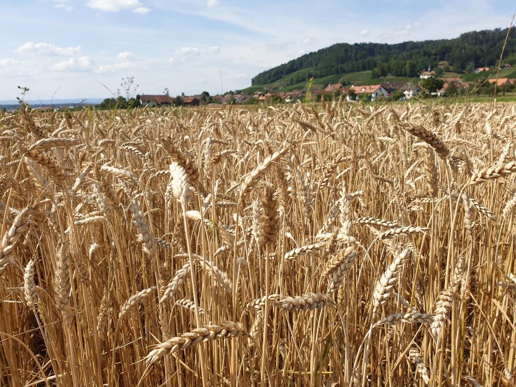 Bioweizen vor der Ernte