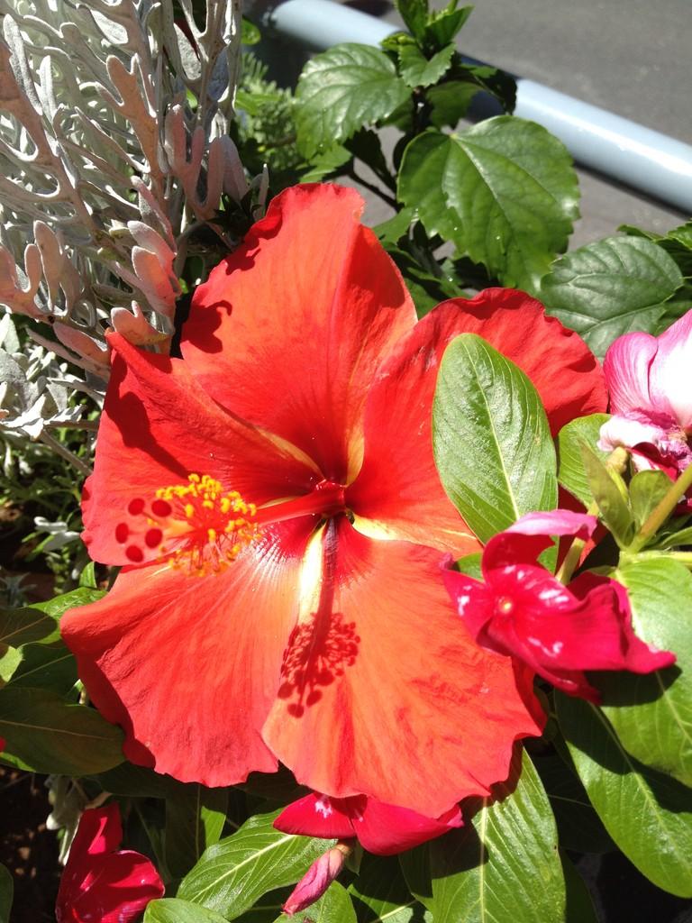 夏はスタジオ前にハイビスカスが咲きます。