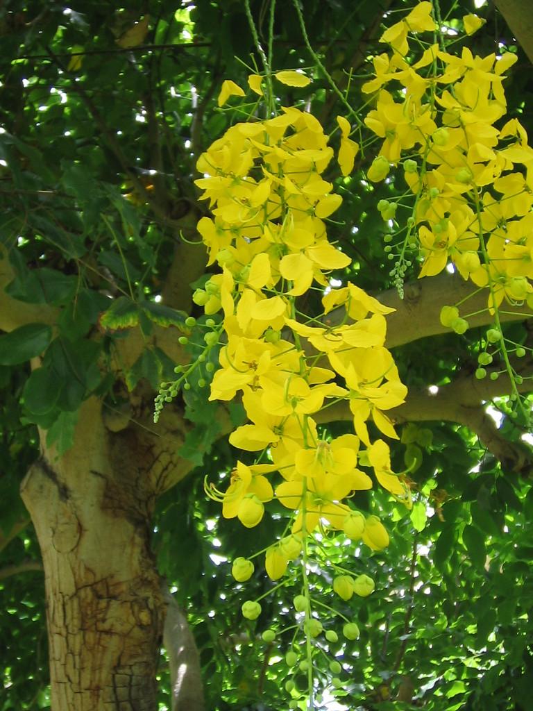 ハワイの花 ゴールデンシャワーツリー