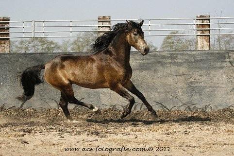Morgan Horse Hengst CFF San Miguel, Niederlande