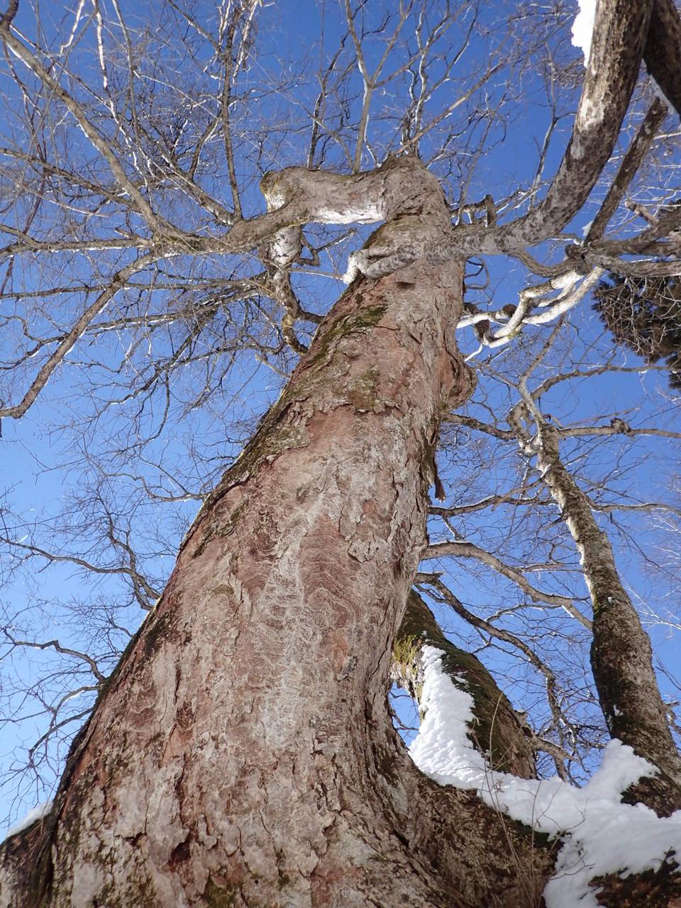 青空に向かってどっしりと根を下ろし、源流の森を守り続けている