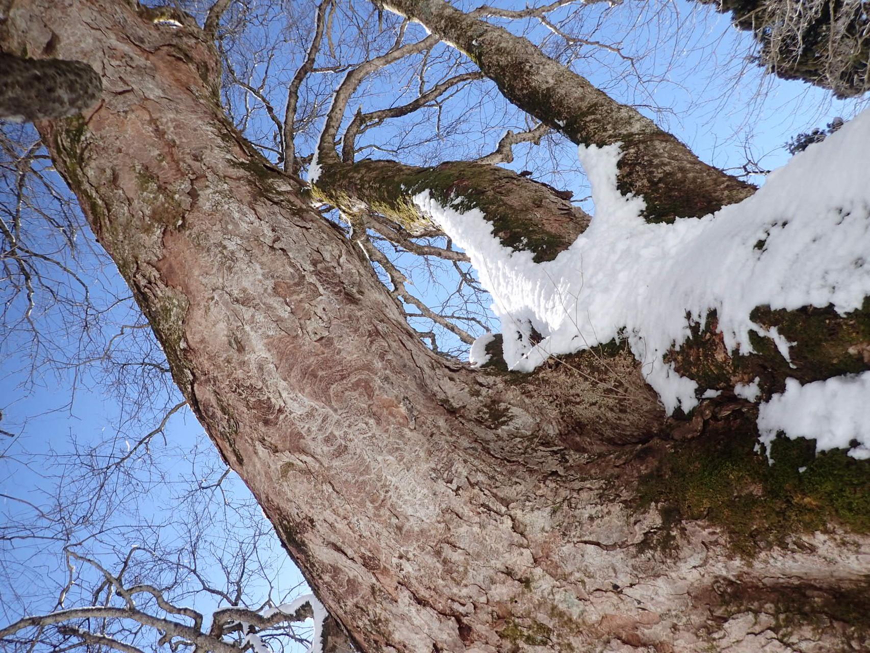 雪をかぶった栃の木は、まるで絵のようです