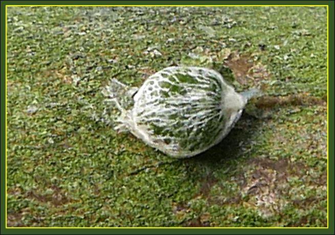 Der grüne Mistel-Samen mit restlichen Anhaftungen des weißen Fruchtfleisches.
