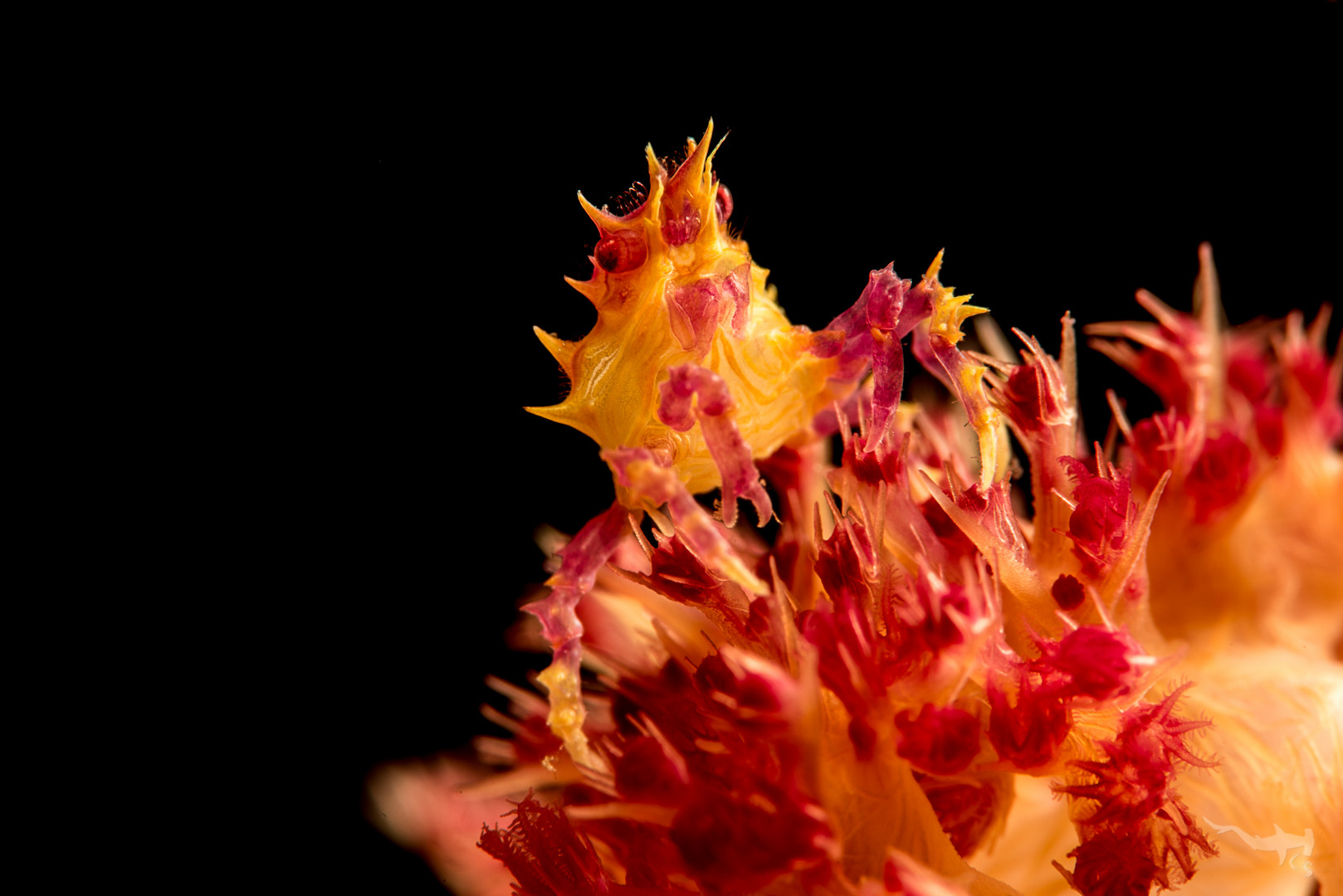 Soft Coral Crab I (Hoplophrys oatesii) - Cabilao/Philippines