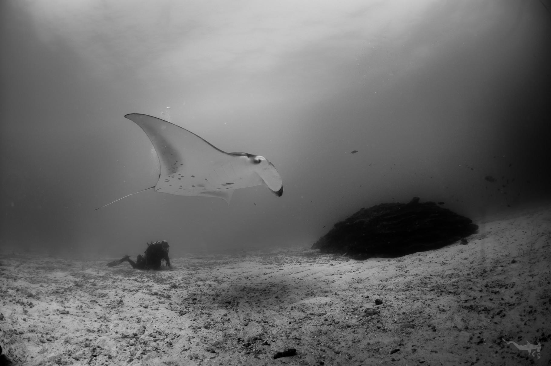 Manta Ray - Sunlight Thila/Maledives