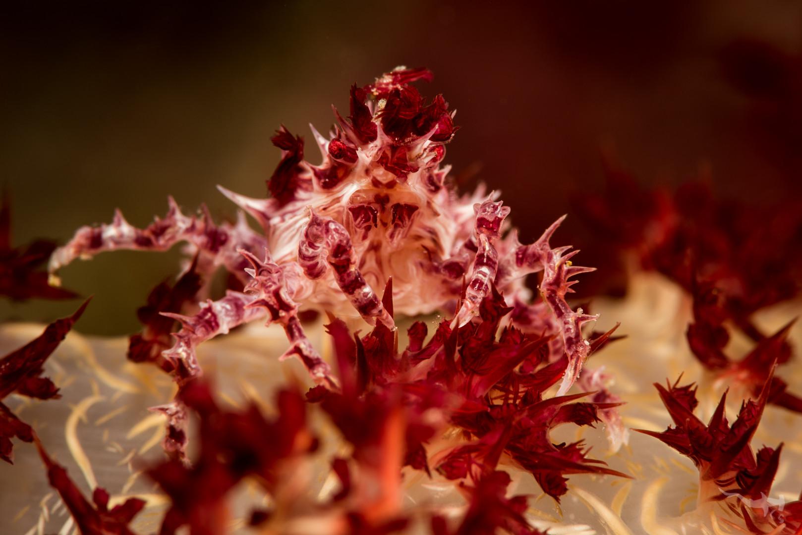 Soft Coral Crab II (Hoplophrys oatesii) - Cabilao/Philippines