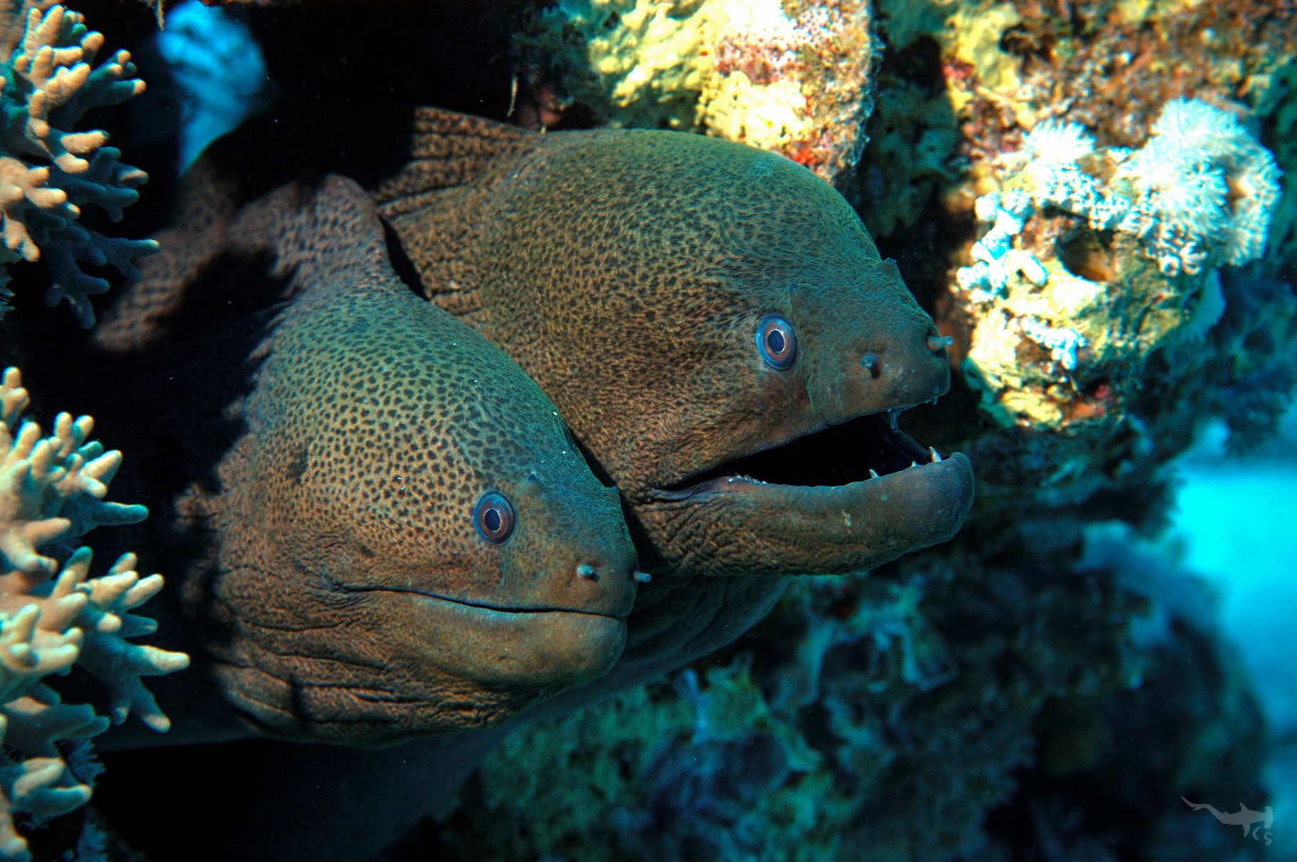 Giant Morays - Red Sea/Egypt