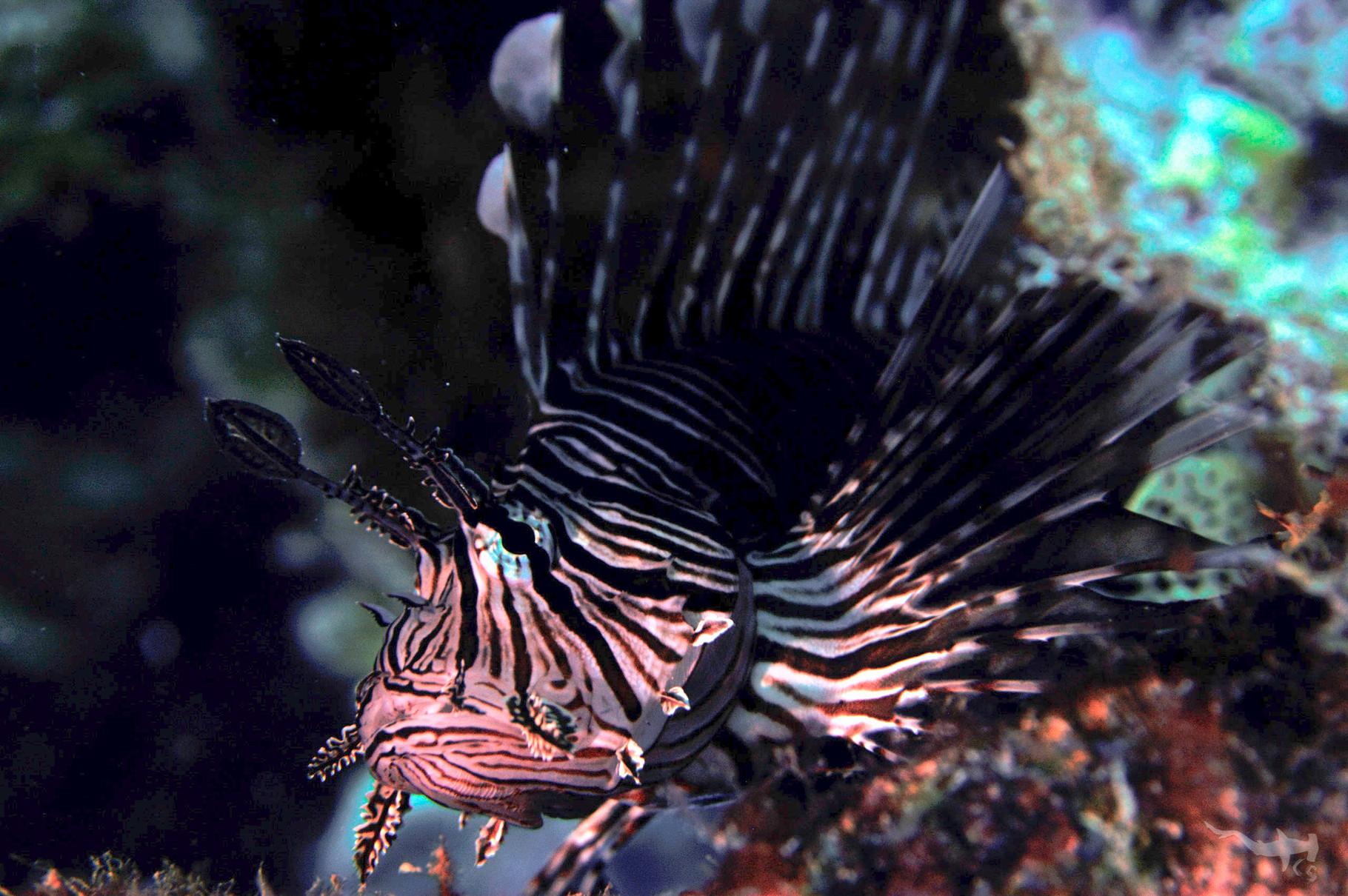 Lionfish - - Curaçao/Caribbean Sea