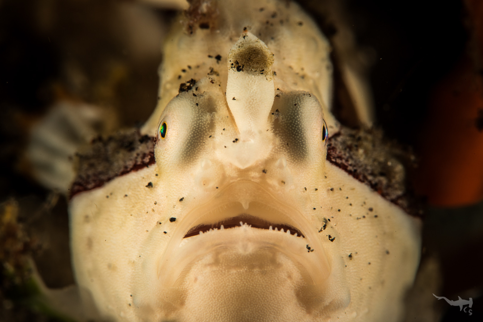 Warty Frogfish (white) - Tulamben/Bali