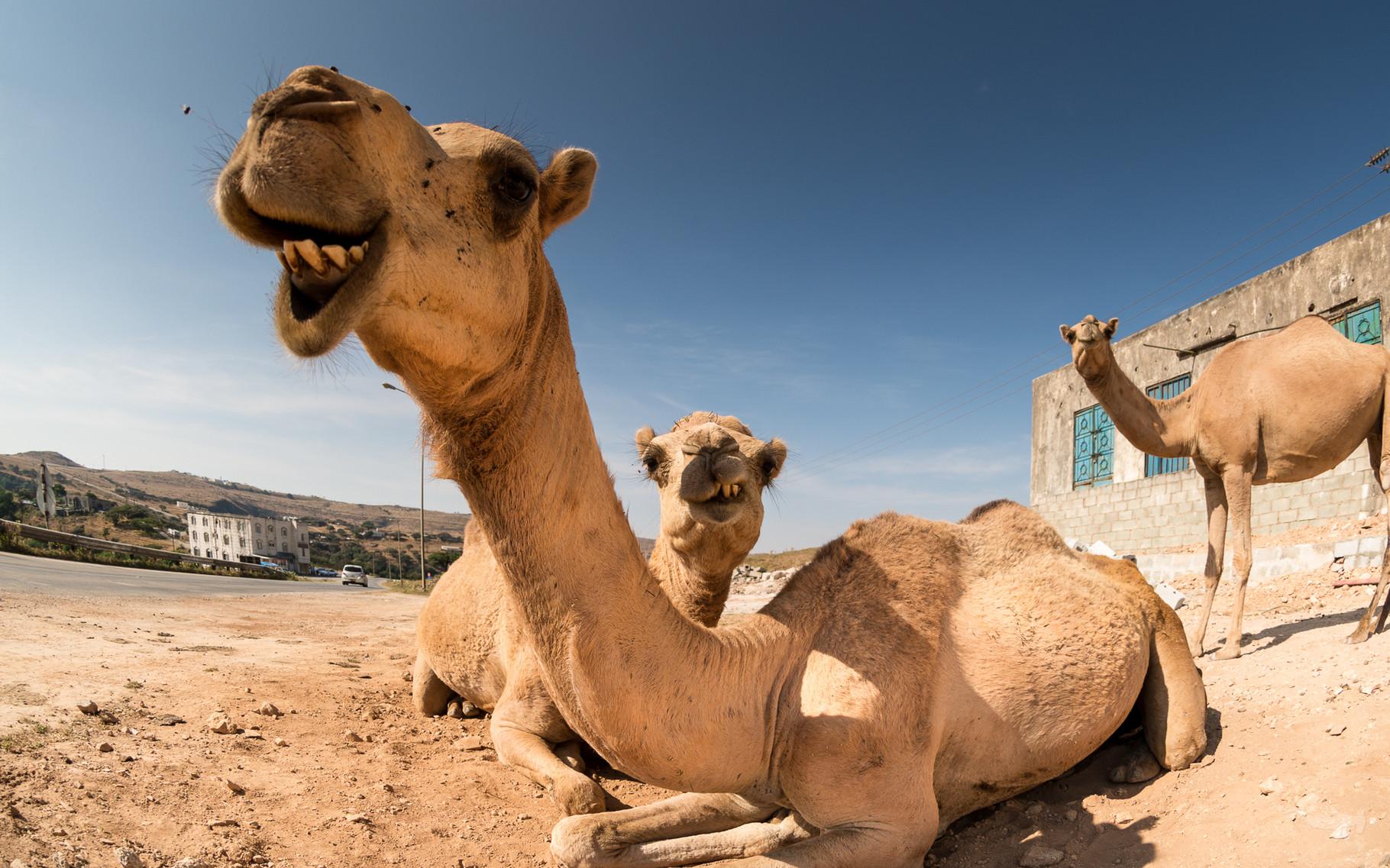 Camels - Dhofar/Oman