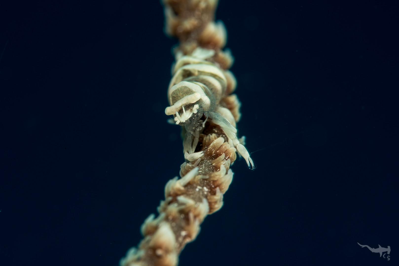 Anker's Whip Coral Shrimp - Cabilao/Philippines