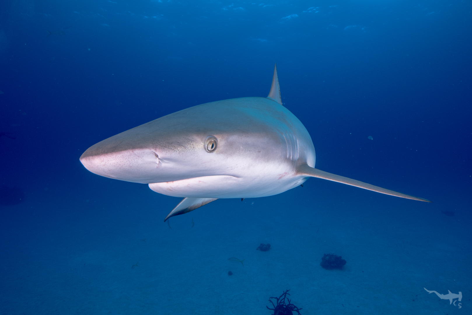 Caribbean Reefshark - Eleuthera/Bahamas