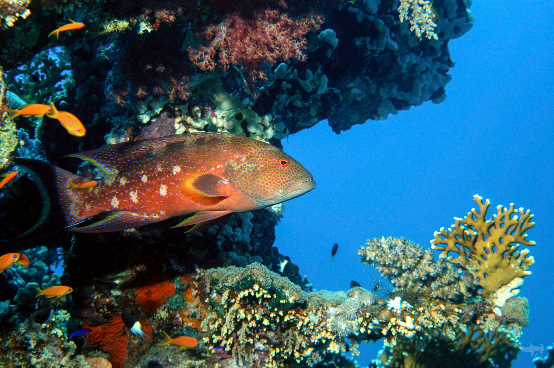 Jewel Grouper - Red Sea/Egypt
