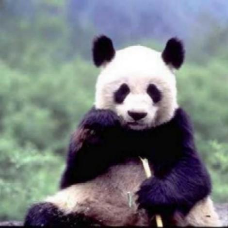 """Der Panflötenchor """"Pan-da-Bärn"""" teilt das Holz, den Bambus, mit dem Pandabär"""