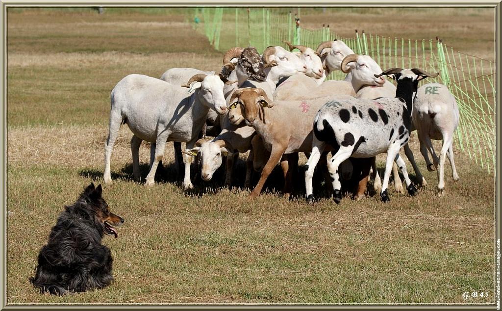 Chien de troupeaux