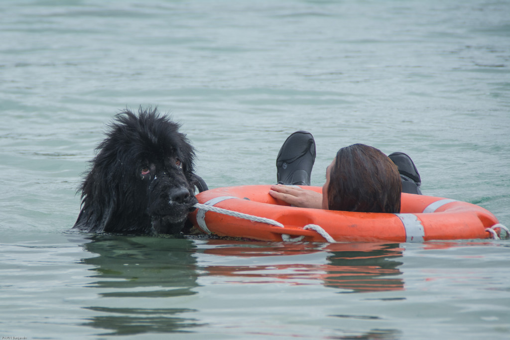 chien sauveteur aquatique