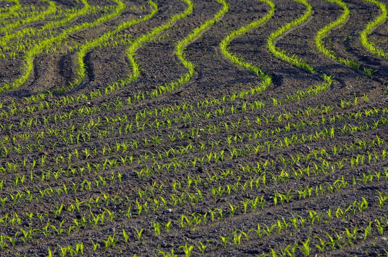 Platz 62 Gumpenberger Robert - Junger Mais