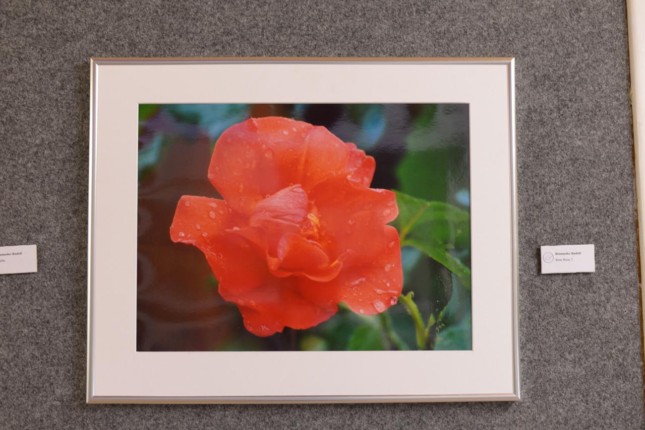 Platz 35 Brunneder Rudi - Rote Rose 2