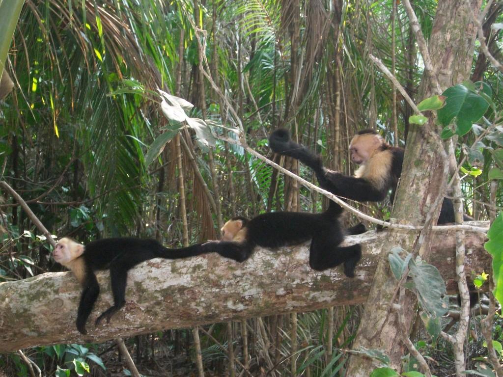 Jour 7 : Capucins dans le Parc National de Manuel-Antonio