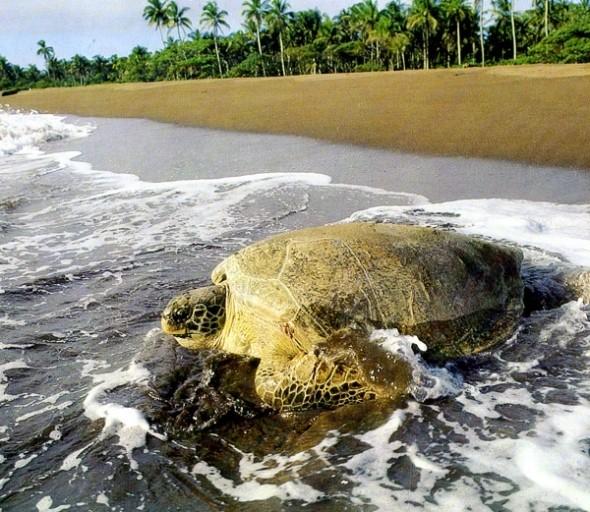 Tortue Verte sur la plage Tortuguero