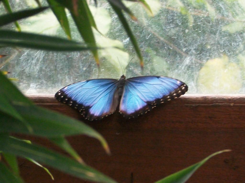 Jour 2 : Papillon Morpho - Jardin de la Paz