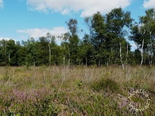 Offensether Moor -  auf entkusselten  und wiedervernässten Flächen haben moortypische Pflanzen wieder eine Chance
