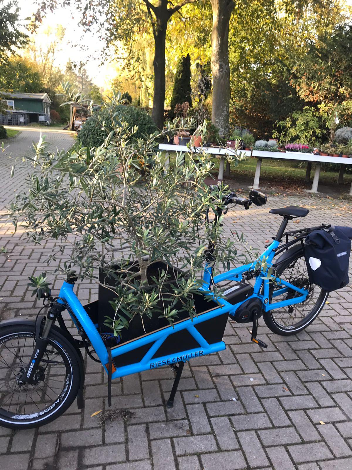 Zum Jahresende transportiert Maike ihren Olivenbaum ganz einfach und gemütlich im Lastenrad zum Winterlager.