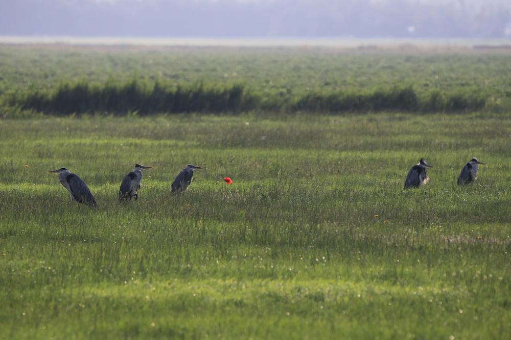 Graureiher im Feld