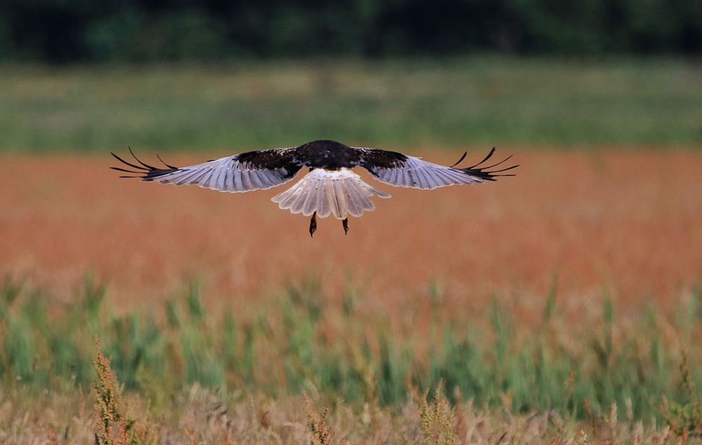 Rohrweihe im Landeanflug