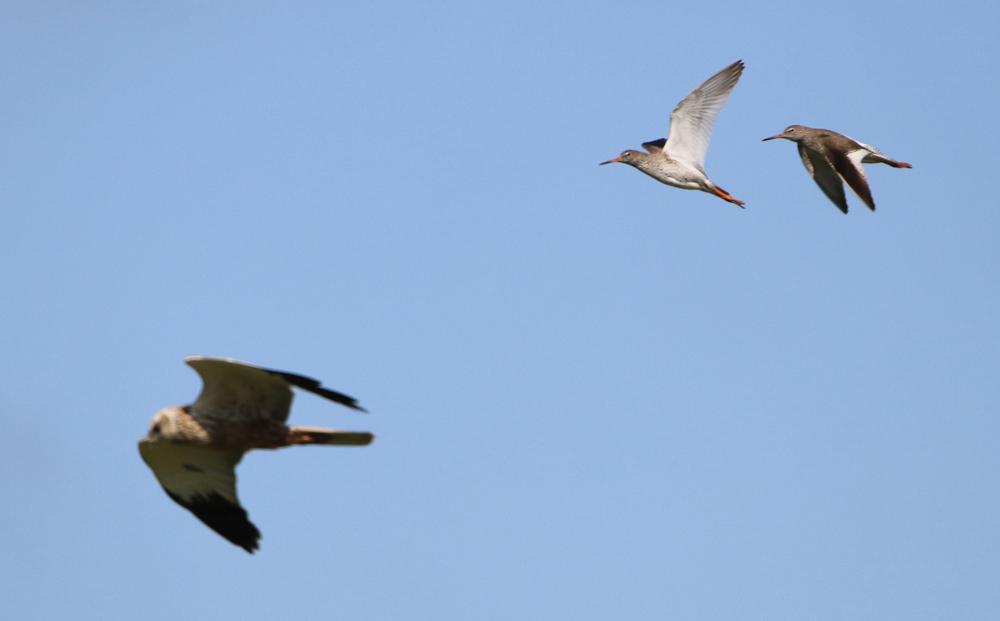 Rohrweihe im Luftkampf