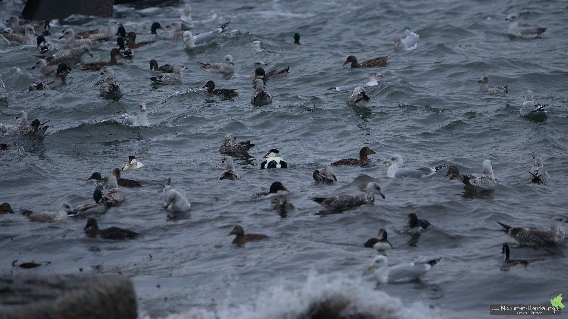 Verschiedene Möwen und Entenarten tummeln sich vor dem Kringelstrand im Wasser