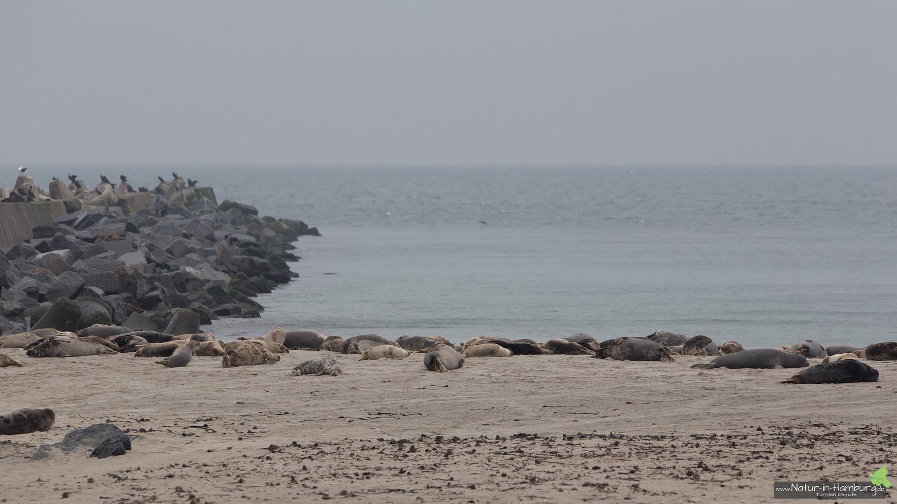 Robben, dicht an dicht auf dem Nordstrand der Düne