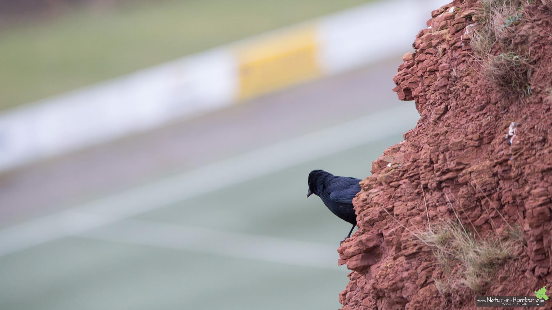 Diese Rabenkrähe scheint sich zu fragen, wann das nächste Spiel angepfiffen wird