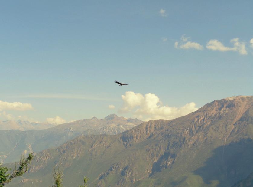 Wahrzeichen des Colca Canyons: Der Anden-Kondor