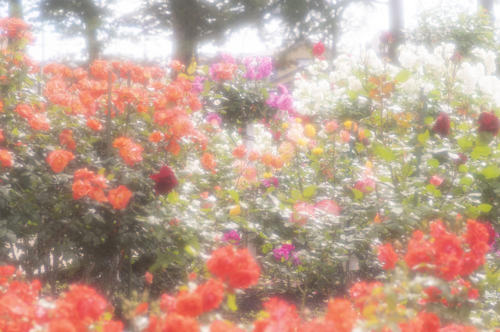 富樫のバラ公園での撮影会
