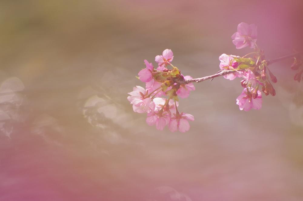 美川の川津桜