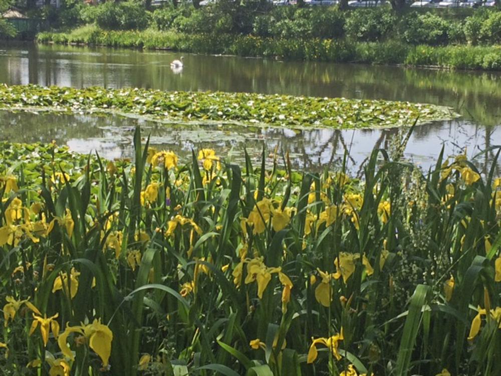 広い池の周りにはキショウブ、スイレンが咲いています!