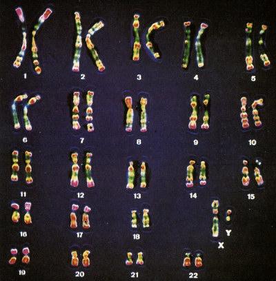 Etude du caryotype