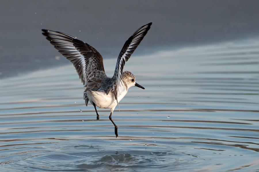 Sanderling (Florida, Oktober 2009)