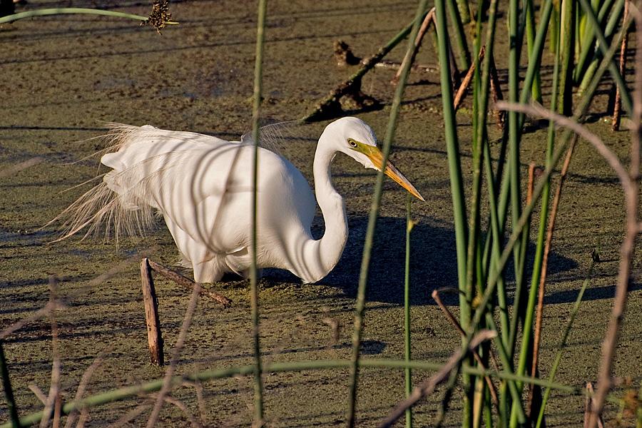 Amerikanischen Silberreiher (Florida, März 2010)