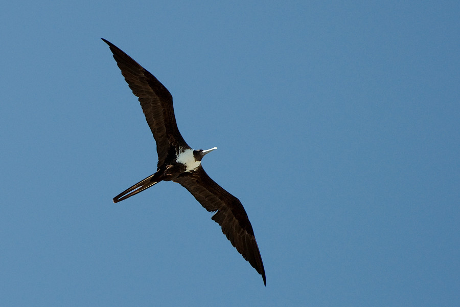 Prachtfregattvogel ♀ (Florida, Mai 2010)