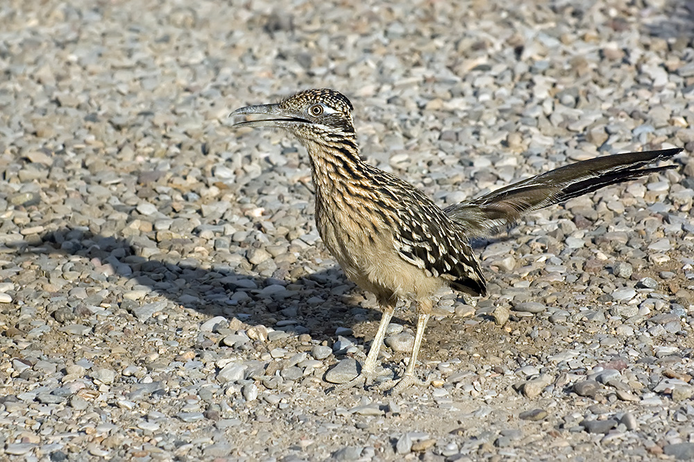 Wegekuckuck - Greater Roadrunner (Geococcyx californianus)