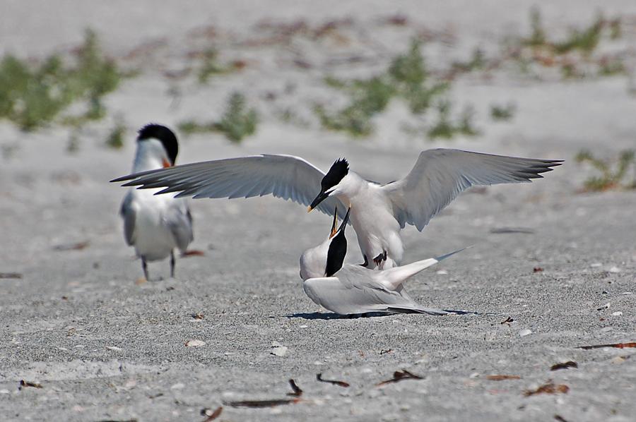 Brandseeschwalben, Balzzeit; im Hintergrund Königsseeschwalbe (Florida, April 2008)