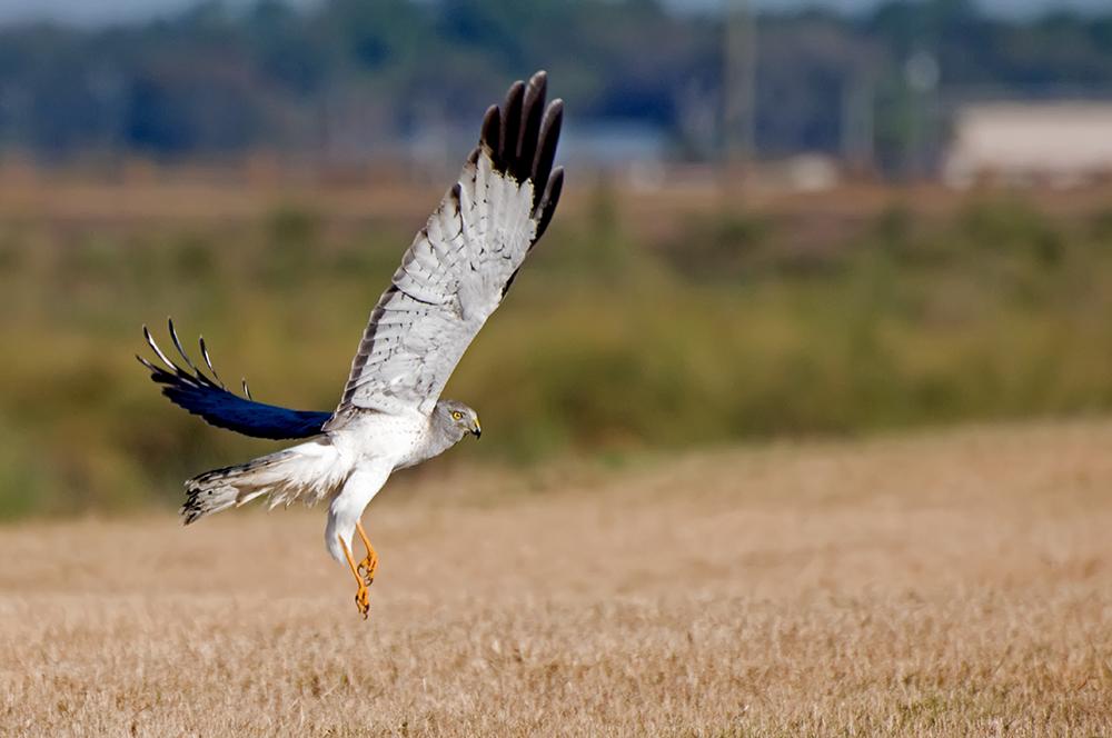 Hudsonweihe ♂ (Florida, Januar 2012)