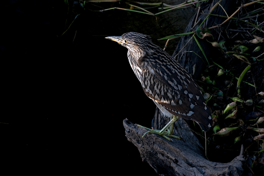 Junger Nachtreiher (Florida, November 2009)