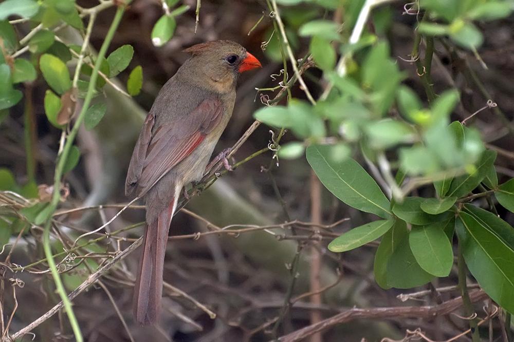 Roter Kardinal ♀ (Texas, April 2009)
