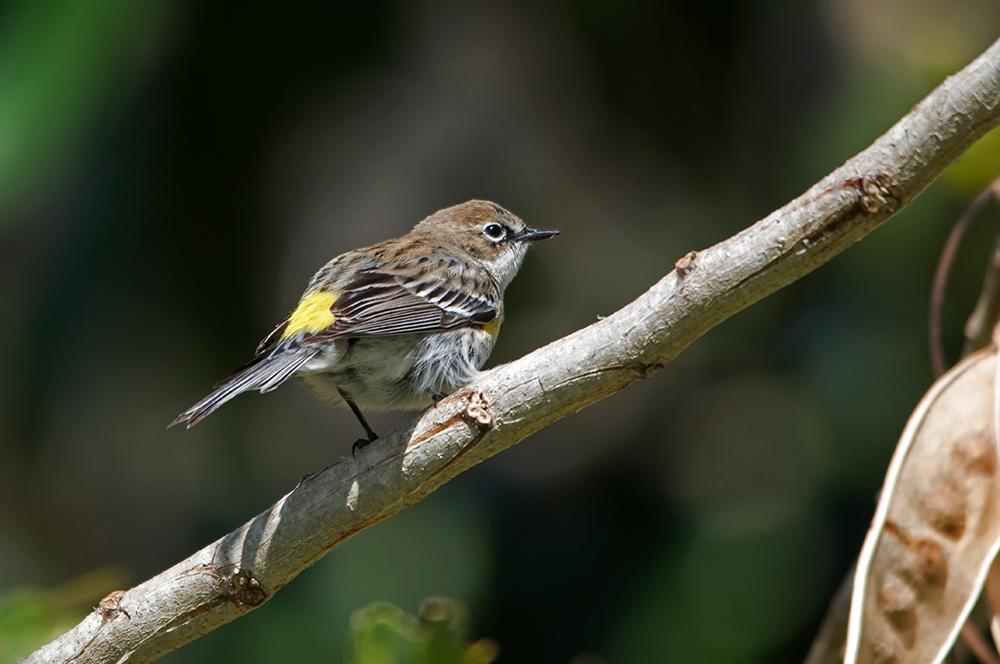 Kronwaldsänger (Florida, März 2013)